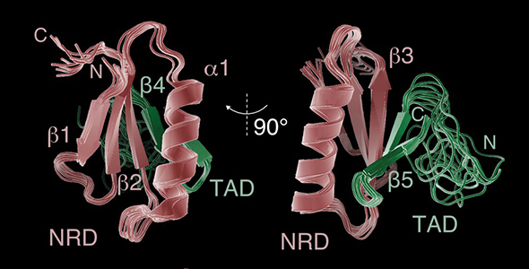 Solution structure of an NRD-TAD complex