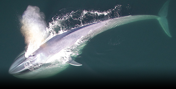 Blue whale lunge feeds, photographs courtesy of John Durban (NOAA) and Michael Moore (WHOI); Chilean research permit MERI-488-FEB-2015