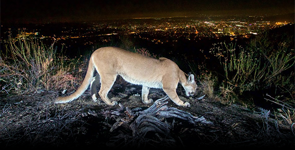 A female puma in the Verdugo Mountains overlooking the Los Angeles nightscape. Inbreeding in small, isolated populations can lead to reproductive failure and other problems. (Photo credit: National Park Service)