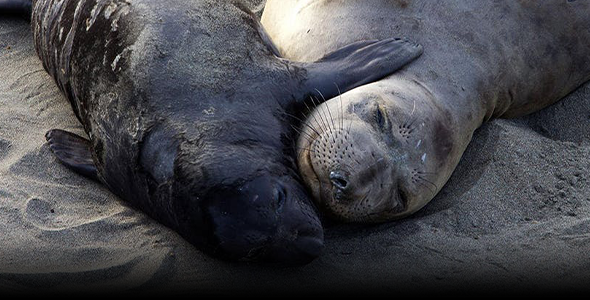 A northern elephant seal mum snuggles with her pup