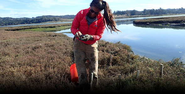 Researcher Kathryn Beheshti Nash, a co-author on the study, samples crabs near the marsh edge of the Elkhorn Slough, image courtesy ESF