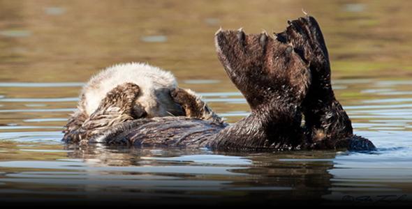 Sea Otter Photo sleeping by Joe Tomoleoni