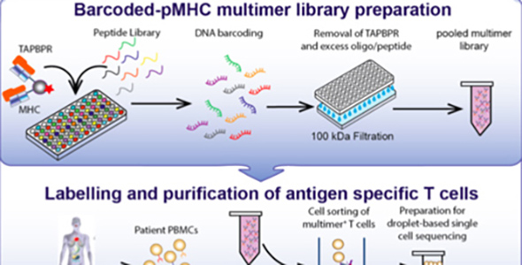 This diagram outlines a workflow for preparing and using a library of peptide-loaded MHC multimers for assessment of T cell repertoires in patient blood samples.