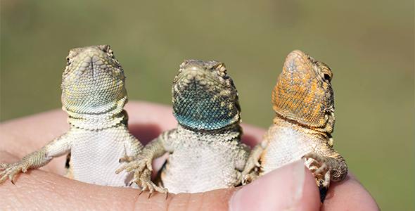 Barry Sinervo's side-blotched lizards
