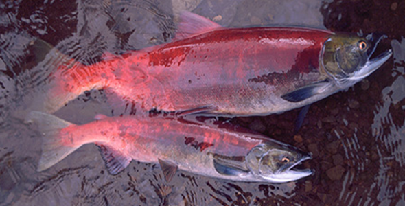 One additional year in the ocean makes a big difference in the size of salmon, as seen in these two female sockeye salmon from Pick Creek, Alaska. The top salmon spent three years at sea, the other two years. (Photo by Andrew Hendry)