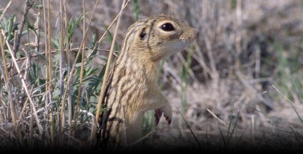A thirteen-lined ground squirrel (Ictidomys tridecemlineatus) at the Pawnee National Grassland in northeastern Colorado.