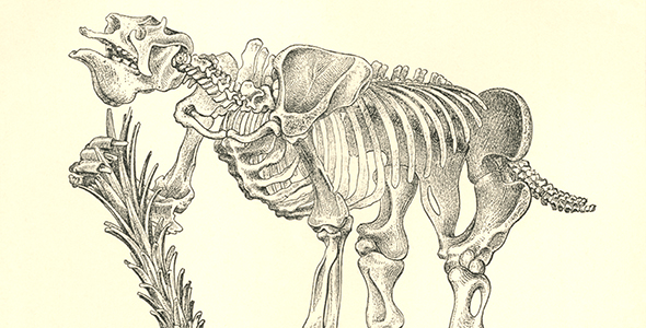 An illustration of a large animal skeleton.