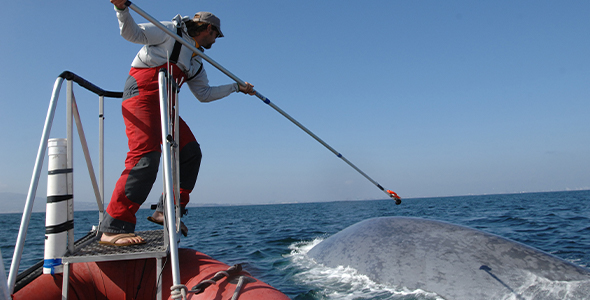 UC Santa Cruz marine biologist Ari Friedlaender tagging a blue whale (photo t J Calambokidis