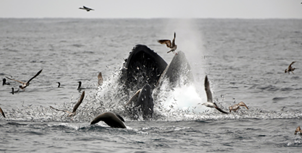 Photo of humpback whale feeding by Dan Costa.