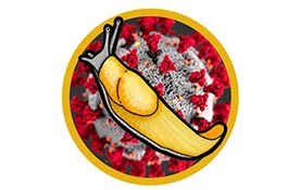 Logo/graphic showing Banana Slug superimposed over COVID-19 virus image
