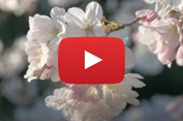 cherry blossoms with the youtube video icon on top of the image