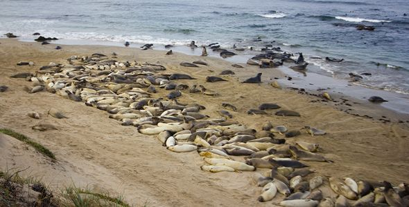 Image of Northern elephant seals and California sea lions on Año Nuevo Island. Photo by Patrick Robinson.