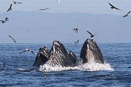 Foraging humpback whales lunge feeding on anchovy in Monterey Bay. (Photo by John Calambokidis, Cascadia Research Collective)
