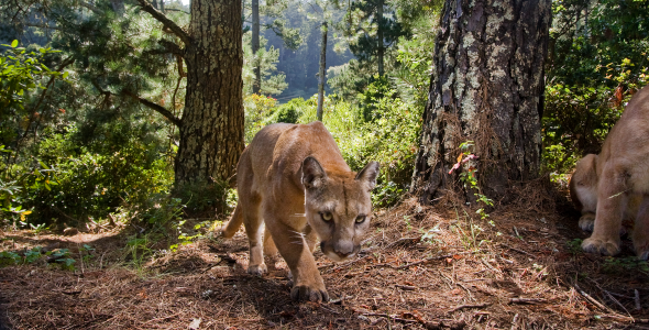 """A wild puma is pictured in the Santa Cruz Mountains. The cats, new research out of UC Santa Cruz finds, came closer to the """"urban edge"""" during COVID-19 lockdowns in 2020. Photo by Sebastian Kennerknecht/pumapix.com (Rachel Carson '07, ecology and evolution)"""