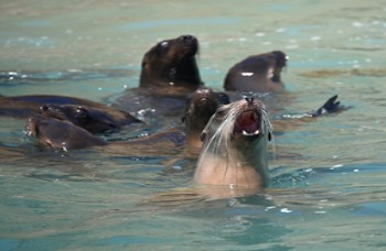 Marine mammals such as sea lions (above) and elephant seals (below) live in an increasingly noisy ocean environment. (Photos by Dan Costa)