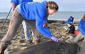 Biologist Roxanne Beltran (foreground) and other researchers prepare to outfit a female elephant seal with a satellite tag and time-depth recorder at Año Nuevo Reserve. (Photo by Dan Costa)